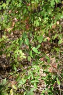 Poison Oak 02