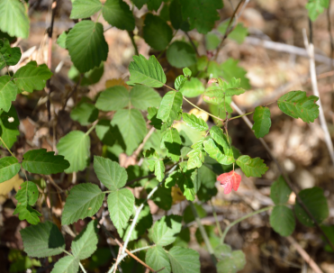 Poison Oak 03