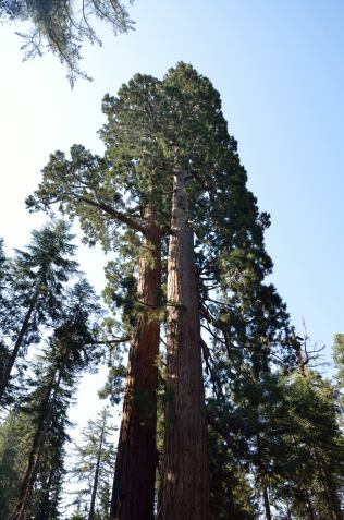 The mighty sequoia!