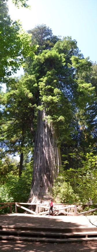 Big Tree, 304' tall