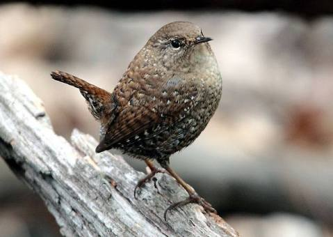 Did you know that the winter wren, though weighing less than half an ounce, can deliver its song with ten times more power than a crowing rooster? These loud little birds are common winter residents of Congaree National Park and can be spotted in low brush and fallen trees along the Boardwalk Trail. From the Park's Facebook page.