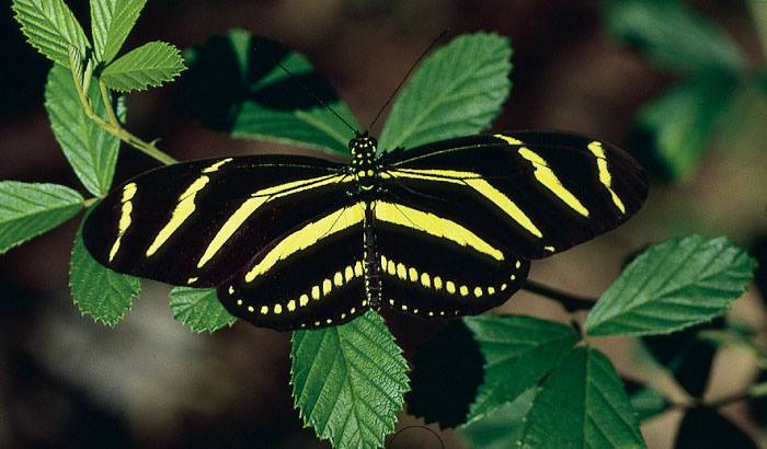 Florida's State butterfly, the Zebra Longwing, lays its eggs on the leaves of the passion vine (aka Passion Flower). These leaves contain toxins, but are eaten and tolerated by the caterpillars as they emerge. Ultimately the toxins make the adult butterflies poisonous if consumed by predators! From the Everglades NP Facebook page.
