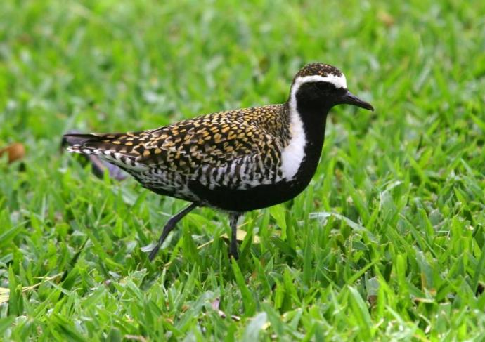 Pacific golden plover. Photo from National Park of American Samoa website.