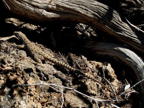 Longnose Leopard lizard (Gambelia wislizenii). From the Canyonlands National Park Facebook page.