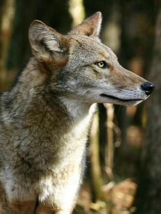 Coyote, from the National Park Service website.