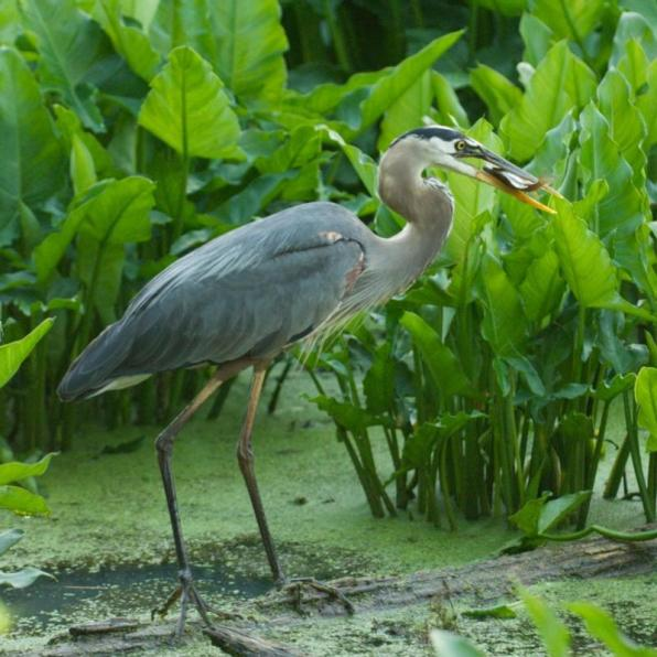 Great blue heron with fish. From the Park's website.