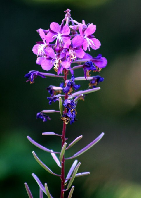 Fireweed. From the Park's Facebook page.