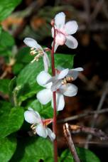 Large Flower Wintergreen (Pyrola grandiflora). From the Park's Facebook page.