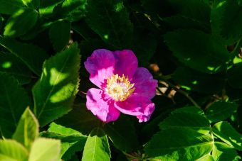 Wild rose. From the Park's Facebook page.