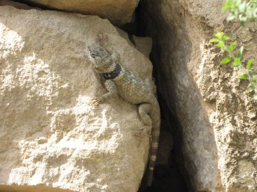 Crevice spiny lizard. From the Park's Facebook page.