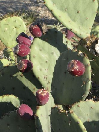 Who has a good recipe for tuna of the prickly pear variety? July's prickly pear cactus blooms have given way to August's fruits, called tunas. When ripe, tunas are red to purple, and they protrude from prickly pear pads like so many red clown noses. If you look closely you can see that the juices from one of these tunas has dripped onto the pad of the prickly pear. If you'd like to try one, be careful! Like the rest of the prickly pear, they have spines. Use gloves and make sure to peel the skin before eating. Visitors can collect up to one gallon of tunas a day from the park, but only from areas within 100 feet of the Walnut Canyon Entrance Road or the Walnut Canyon Scenic Drive. From the Park's Facebook page.