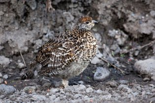 A young spruce grouse stands by the side of the park road in Igloo Forest. The spruce grouse is one of 170 different species of birds that have been sighted in the park and is one of the few that spends the winter here. Photo by Daniel A. Leifheit. From the Park's Facebook page.