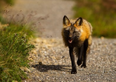 "From the Park's website. Photo by: NPS Photo / Nathan Kostegian. Red foxes can be a variety of colors, from pure black to deep red. Red foxes with a blend of colors, like this one, are sometimes called ""cross foxes."""