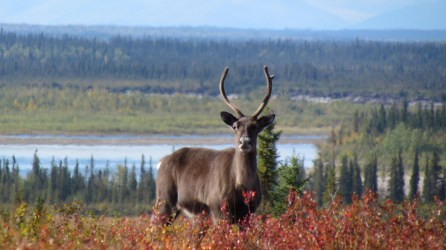 In late August and early September, visitors to Kobuk Valley National Park in Alaska can watch caribou in striking autumn pelage as they swim across the river. Huge antlers and white ruffs mark the bulls. Photograph by Nick Jans/Photo Library. National Geographic.