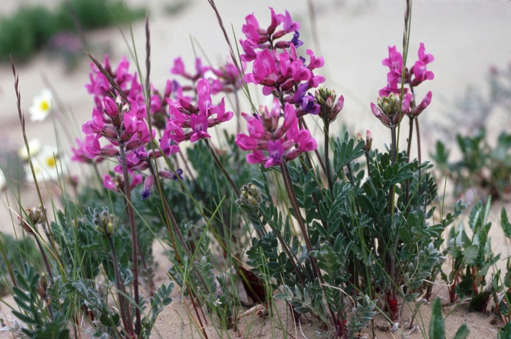 This pretty but unassuming flower is quite special. Oxytropis kobukensis grows in only one place in the world - in the Kobuk Valley on and around the sand dunes. From the Park's website.
