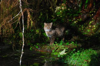 Bobcat. From the Park's website.