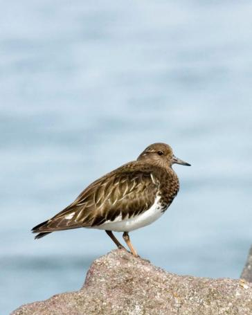 Black turnstone. From the Park's website.