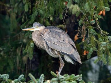 Great blue heron. From the Park's website.