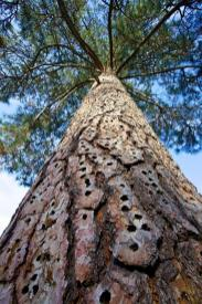 A healthy ponderosa pine, covered in woodpecker holes. Tweeted by the US Department of the Interior, 5/16/14.