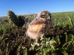 Baby burrowing owl. Photograph by park wildlife biologist Eddie Childers. 2012. From the Park's Facebook page.