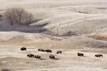 Bison. From the Park's website.