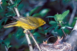 Yellow Warbler. From the Park's website.