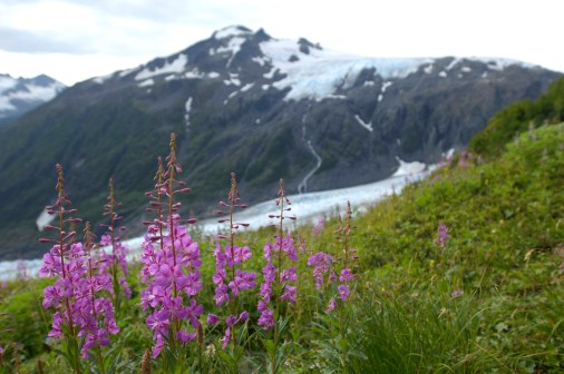 Fireweed. From the Park's website.