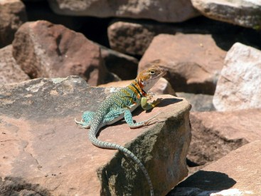 Yellow-Headed Collared Lizard. From the Park's website.