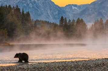 A Grizzly Bear crossing the Snake River at sunrise in the Grand Teton National Park. Photo: Donald Higgs. Posted by the US Department of the Interior on Tumblr, 1/15/14.