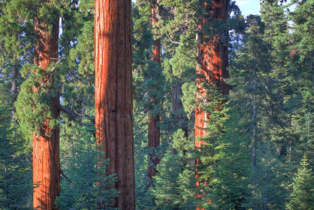 The only Sequoia grove complex managed by the Bureau of Land Management are on California's Case Mountain. The groves are approximately 7½ miles southeast of the town of Three Rivers, California. The complex is comprised of six distinct sequoia grove units, which total about 444 acres. Tweeted by the US Department of the Interior, 3/25/16.