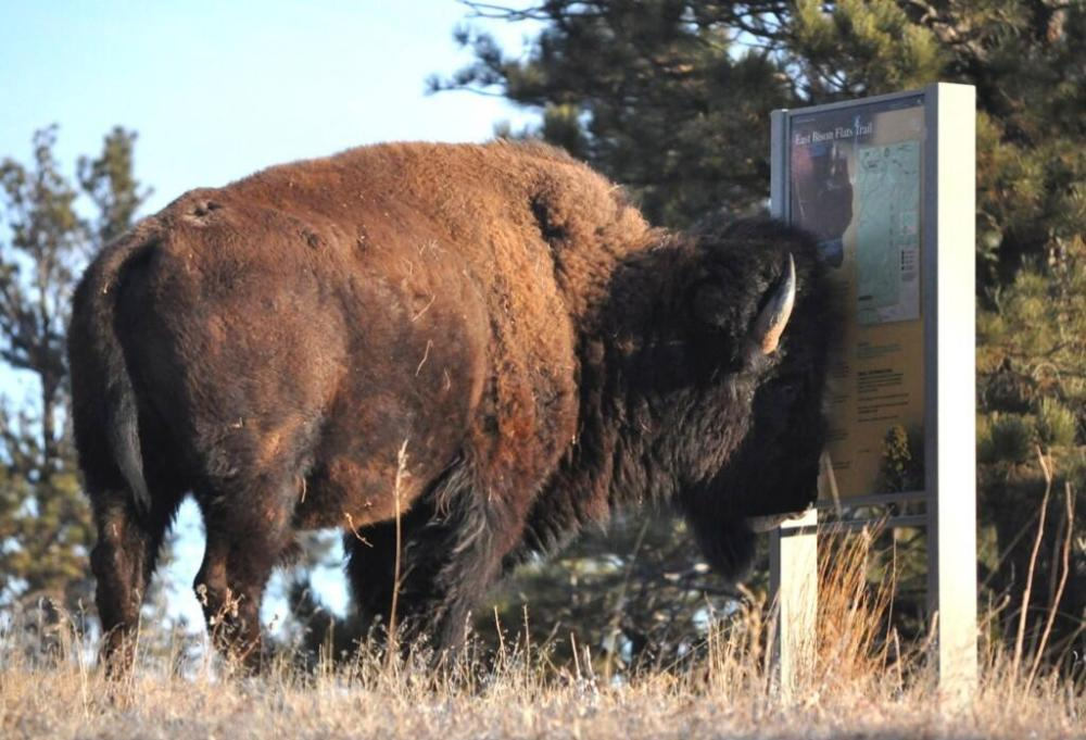 Who knew the bison in Wind Cave National Park were nearsighted? Tweeted by the US Department of the Interior 3/20/14.
