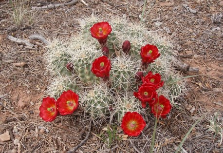 Claretcup Cactus (Echinocereus triglochidiatus) is found throughout the park in sandy to clay soils on upland benches and occasionally in canyon bottoms. It is associated with mixed desert scrub and pinyon juniper woodland communities. From the Park's website.