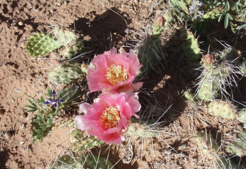 Central Pricklypear (Opuntia polyacantha) is associated with mixed desert scrub, sagebrush, pinyon juniper woodland, and ponderosa pine communities. It is common in sandy to rocky soils, especially along the Cohab Canyon Trail. From the Park's website.