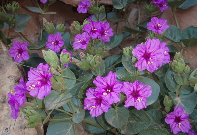 Showy Four O'Clock (Mirabilis multiflora) is found in mixed desert scrub and pinyon juniper woodland communities throughout the park. It was commonly used for medicinal purposes by American Indians. From the Park's website.
