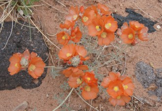 Common Globemallow (Sphaeralcea coccinea) is found in mixed desert scrub, sagebrush, pinyon juniper woodland, and ponderosa pine communities in wash bottoms and uplands. It was used by Navajo Indians to heal wounds, stop bleeding, and treat colds. From the Park's website.