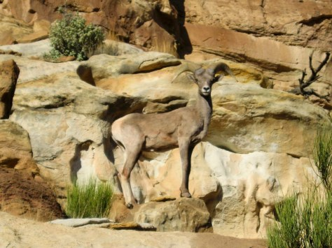 Bighorn sheep. From the Park's website.
