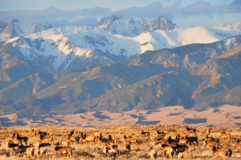 Elk herd in front of the Crestone Mountains. NPS photo from the Park's Flickr stream.