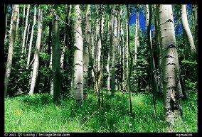 Aspen trees. Photo courtesy of Terra Galleria. www.terragalleria.com.