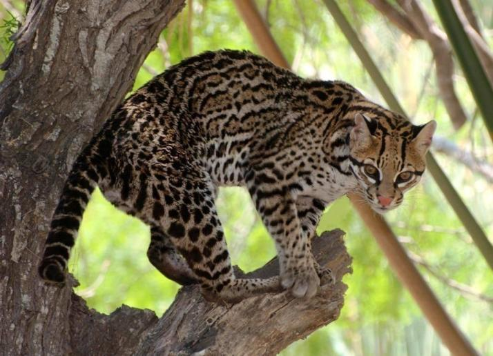 An ocelot, photographed in the Lower Rio Grande Valley National Wildlife Refuge. Tweeted by the US Department of the Interior, 4/4/14.