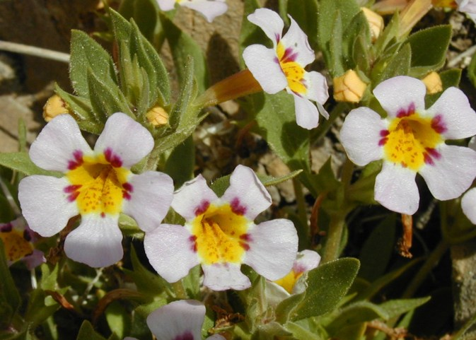 Rock Mimulus (Mimulus rupicola) are an endemic species only found in the Death Valley region. From the Park's website.