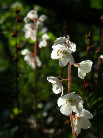 The sun shines through the petals of an Arctic Wintergreen flower (pyrola arctica). From the Park's website.