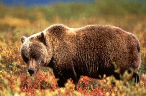 Grizzly bear. From the Park's website.