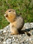 Gates of the Arctic NP 21 – Arctic Ground Squirrel