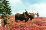 Gates of the Arctic NP 22 – Bull Moose