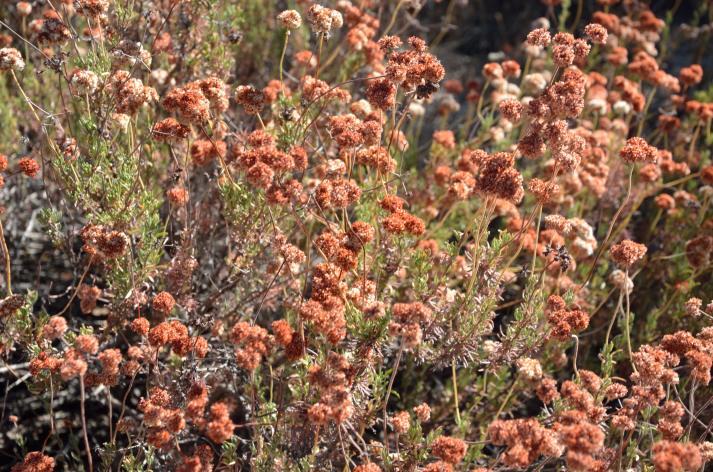 California Buckwheat.