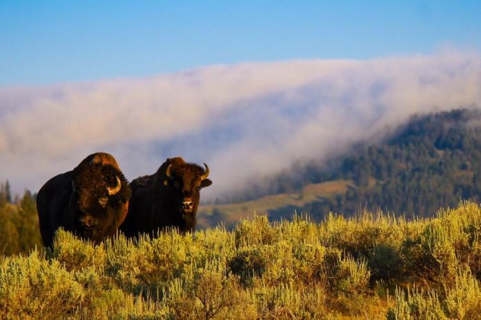 Bison. Tweeted by the US Department of the Interior, 6/30/14.