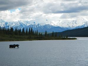 A moose grazes on aquatic plants in Wonder Lake, Denali National Park. NPS Photo/K. Lewandowski. Posted by the US Department of the Interior on Tumblr, 7/1/14.