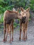 Forty Mile River – Two Moose Calves