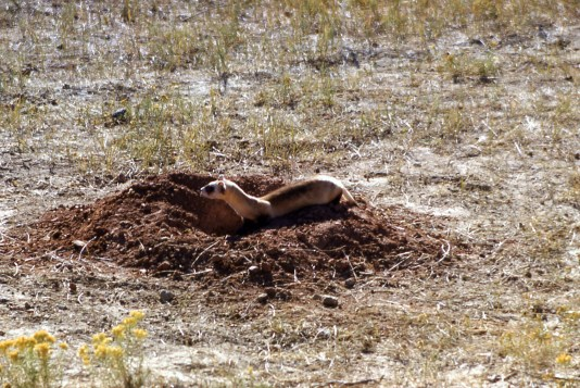 Black footed ferret. From Yellowstone National Park's website.