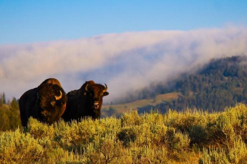 Bison in Yellowstone National Park. Tweeted by the US Department of the Interior on 6/10/14.